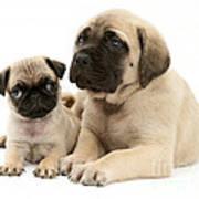 Pug And English Mastiff Puppies Art Print by Jane Burton