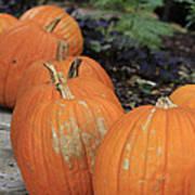 Pumpkins Galore V2 Art Print