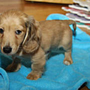 Puppy On Blue Blanket Art Print