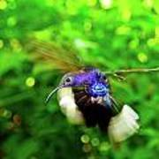 Purple And Blue Hummingbird  Art Print