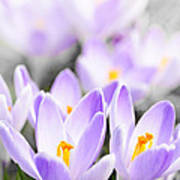 Purple Crocus Blossoms Art Print