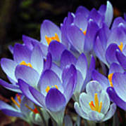Purple Crocus Cluster Spring Choir Art Print