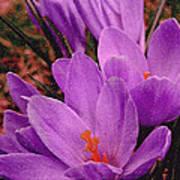 Purple Crocus With A Texture Art Print