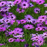 Purple Daisies Square Art Print