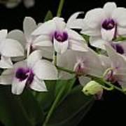 Purple Dendrobium Stem Art Print