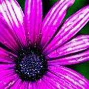 Purple Dew Art Print
