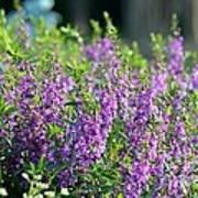 Purple English Garden  Art Print