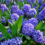 Purple Hyacinths Art Print