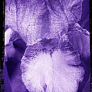 Purple Iris Art Print