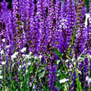Purple Lavender Flower In Bloom  Art Print