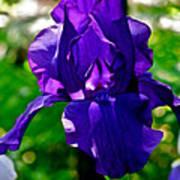 Purple Pink Iris  Art Print