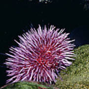 Purple Sea Urchin Feeding California Art Print