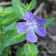 Purple Vinca Art Print