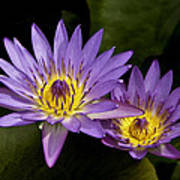 Purple Water Lilies Art Print