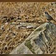 Quail On Rock Art Print