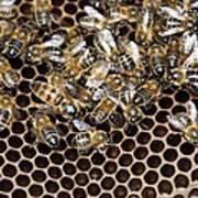 Queen Bee With Worker Bees Art Print