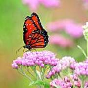 Queen Butterfly Sitting On Pink Flowers Art Print