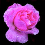 Queen Elizabeth Rose After Heavy Rainfall Art Print