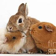 Rabbit And Guinea Pigs Art Print
