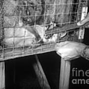 Rabid Fox, 1958 Art Print