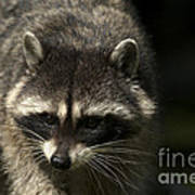 Raccoon 2 Art Print