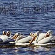 Raft Of Pelicans Art Print