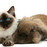 Ragdoll Kitten And Lionhead Rabbit Art Print