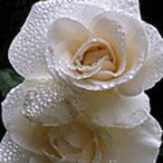 Rain Drop Roses Art Print