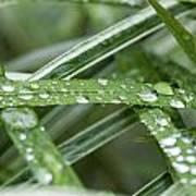 Rain Drops On Grasses Art Print