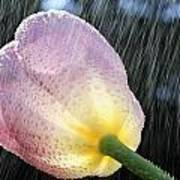 Rain Falling On A Tulip Art Print