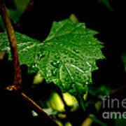 Rain On Ivy Art Print