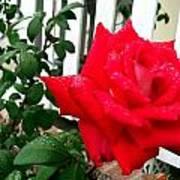 Rain Rose Art Print