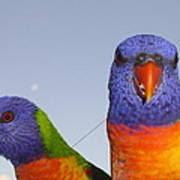 Rainbow Lorikeets Art Print