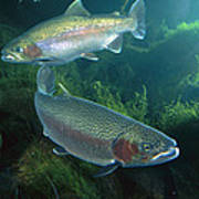 Rainbow Trout Oncorhynchus Mykiss Pair Art Print