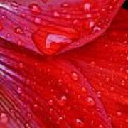 Raindrops On Amaryllis Art Print