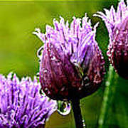 Raindrops On Chives Triptych Art Print