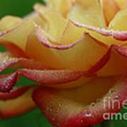 Raindrops On Petals Art Print