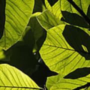 Rainforest Leaves Showing Sunlight Art Print