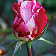 Raspberry Swirl Rose Art Print