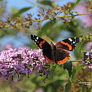Red Admiral Butterfly Art Print