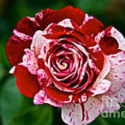 Red And White Rose Art Print