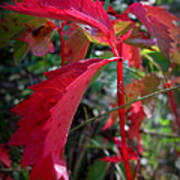 Red Autumn Woodbine Art Print