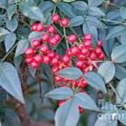 Red Berries 1 Art Print