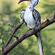 Red-billed Hornbill Art Print