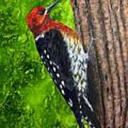 Red Breasted Sapsucker Art Print