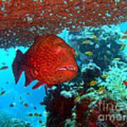 Red Close-up Grouper Art Print