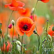 Red Corn Poppy Flowers 05 Art Print