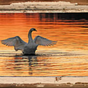 Red Dawn Swan Framed In Old Window Frame Art Print