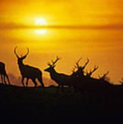 Red Deer Stags Art Print