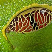 Red Eyed Tree Frog Eyelid Costa Rica Art Print